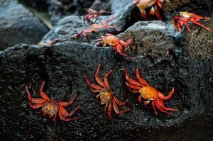 Crabs of Galapagos