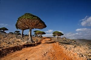 Diksam Dragon blood trees