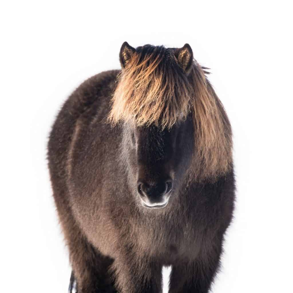 Icelandic horse - animal photography