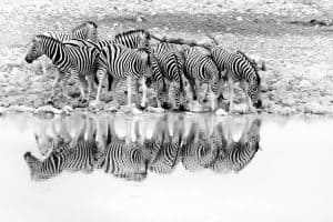 Reflections of the herd
